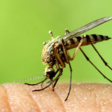 In the Northeast, mosquitoes are most active from May through the first frost.